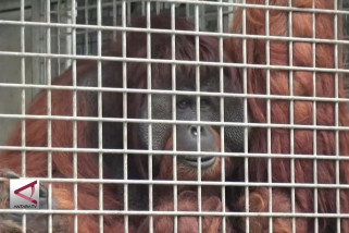 Orangutan korban konflik kembali ke alam liar