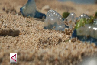 Mengenal Impes, Ubur-Ubur Laut yang Bahayakan Wisatawan