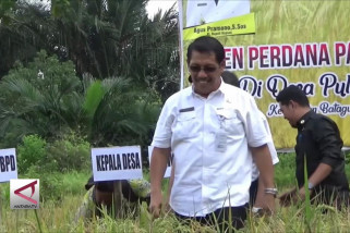 Panen perdana padi unggul di Pulau Mambulau