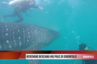 Uji adrenalin berenang bersama hiu paus di Gorontalo