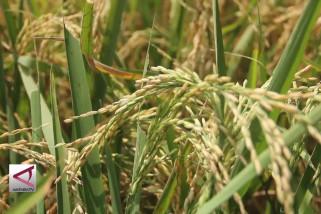 Lahan padi organik di Semarang bertambah pesat