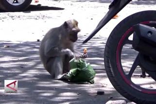 Kelaparan, kawanan kera liar ganggu wisatawan Papuma