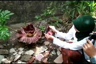 Video - Bunga bangkai tumbuh di pekarangan warga Kudus