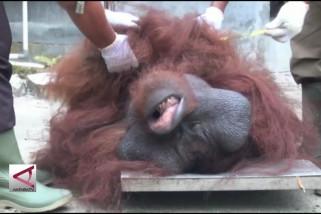 Pelestarian Orangutan di Pulau Badak Kalteng