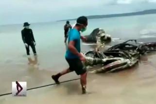Hindari pencemaran, bangkai paus dikuburkan