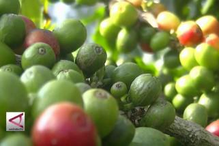 Kiat Temanggung hadirkan benih robusta unggulan