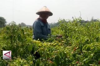 Petani terpaksa panen cabai saat harga sedang rendah