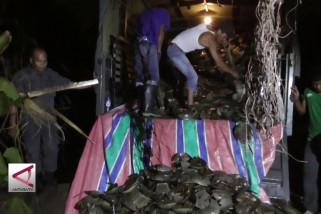 7000 Ekor Belangkas Sitaan TNI AL Dimusnahkan