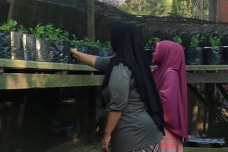 Kelompok Wanita Tani (KWT) kembangkan daun seledri