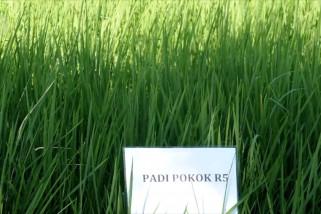 Jatim kembangkan produk unggulan padi Ratun R5