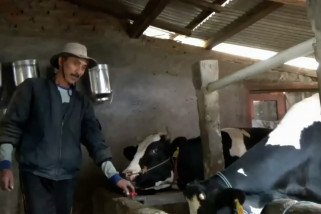 Kemarau, produktivitas susu sapi menurun