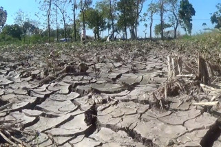 Langka air, petani beralih tanam singkong