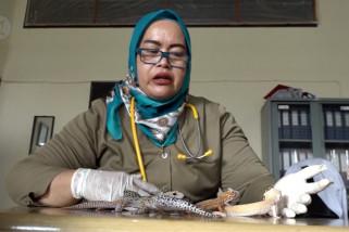 BKSDA Aceh terima penyerahan empat tokek asal luar negeri