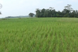Puluhan hektar padi di Pandeglang terancam gagal panen