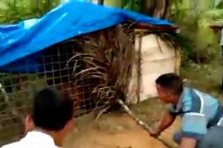 Harimau yang tewaskan warga Padang Lawas, ditangkap