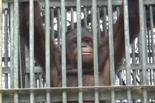 Kabut asap ganggu orangutan di Taman Nasional Gunung Palung