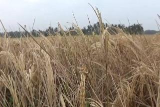 Ribuan Hektar tanaman padi di Pandeglang gagal panen