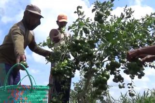 Budidaya jeruk semakin diminati petani Batola