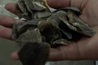 Dua  sindikat perdagangan kulit trenggiling di tangkap polisi