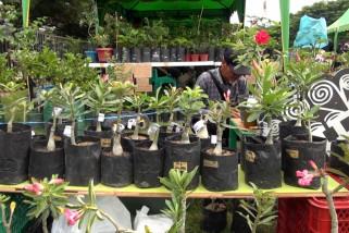 Bisnis adenium menjanjikan di Banda Aceh
