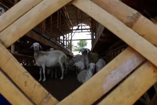 Peternakan kambing di Bondowoso beromzet ratusan juta rupiah