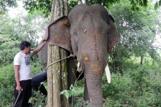 Gajah jinak di Aceh terluka diserang gajah liar