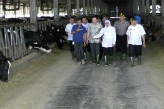 Jatim butuh 30 ribu ekor sapi lagi wujudkan swasembada susu
