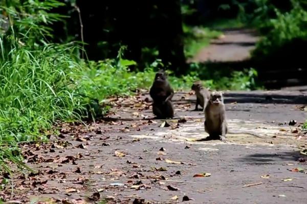 Kawanan monyet liar masuk ke permukiman warga Lembang, Bandung ...
