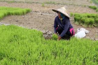 Dua ribu hektare sawah di Aceh Besar alami kekeringan
