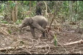 Anak gajah Sumatera terjerat di Riau akhirnya mati