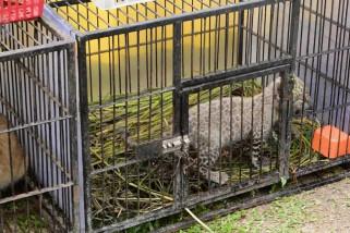 Bayi leopard mati karena virus di kebun binatang Riau