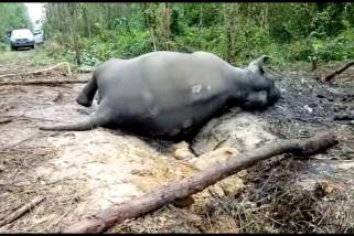 Gajah betina dewasa ditemukan mati dilahan konsesi