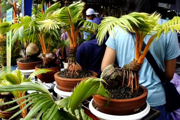 Kampung Tematik Kelola Bonsai Pohon Kelapa Antara Tv