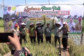 """3000 hektar lahan padi """"serasi"""" di Banjar-Kalsel siap panen"""
