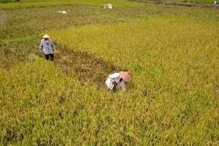 Pertanian penopang perekonomian sekar kijang di masa pandemi