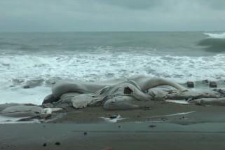 Gelombang tinggi sebabkan abrasi di bibir pantai Aceh Barat