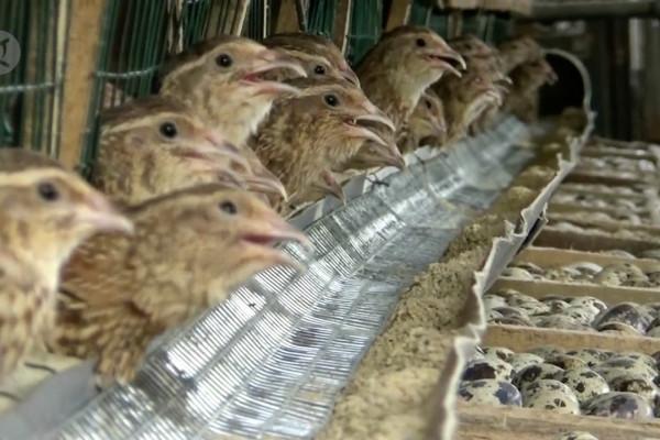 Beternak Burung Puyuh Beromset Puluhan Juta Rupiah