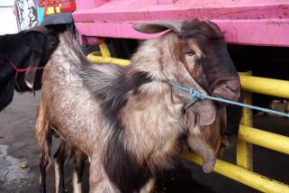 Permintaan hewan kurban dari Jatim meningkat