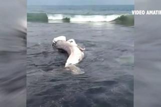 Dalam 2 hari 3 hiu paus terdampar di pantai Jember