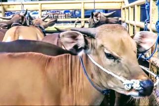 Pandemi, penjualan sapi ke luar Bali justru meningkat