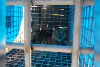 BBKSDA Sumut tangkap seekor Harimau Sumatera di permukiman warga