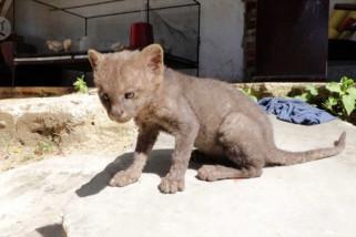 Petani Kolombia selamatkan bayi puma