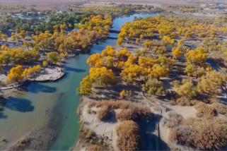 Tengok keindahan hutan Populus euphratica di Mongolia Dalam