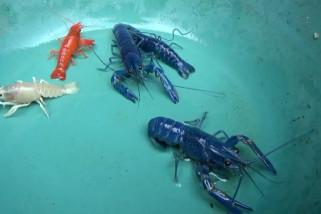 Budidaya lobster warna-warni, keuntungan tinggi di tengah pandemi