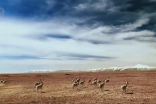 Usai melahirkan di Hoh Xil kawanan antelop Tibet pulang ke habitat asli