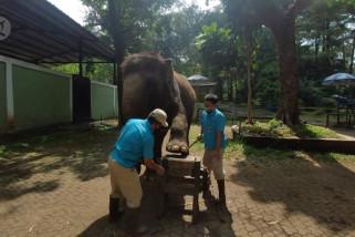 Ketika gajah menjalani perawatan kuku