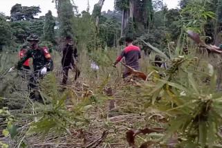 BNN musnahkan 3,5 hektare ladang ganja di Aceh Besar