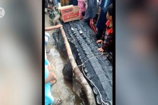 Warga Bangka Tengah tarik buaya raksasa dari sungai
