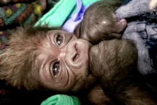 Gorila jantan pertama lahir di Kebun Binatang Boston