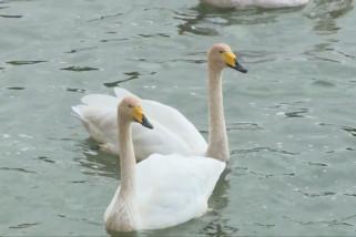 Burung-burung migran tiba untuk habiskan musim dingin di Korla